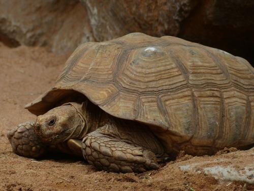 Pittabread tortoise